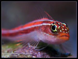 Striped Triplefin (Helcogramma striatum) - Amed, Bali (Ca... by Marco Waagmeester 